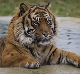 nias-tiger